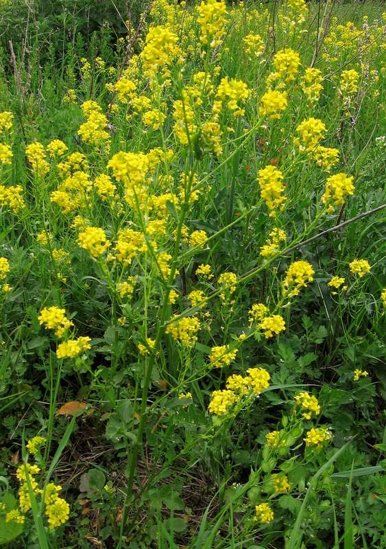 Barbarea vulgaris subsp. arcuata - Winter-cress