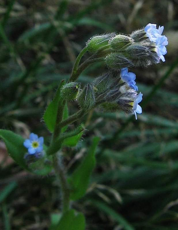 Myosotis arvensis - Field Forget-me-not