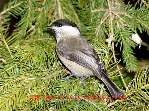 Parus montanus - Willow Tit