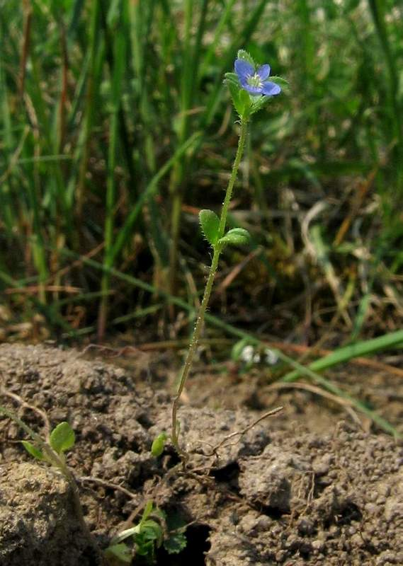 Veronica arvensis - Wall Speedwell