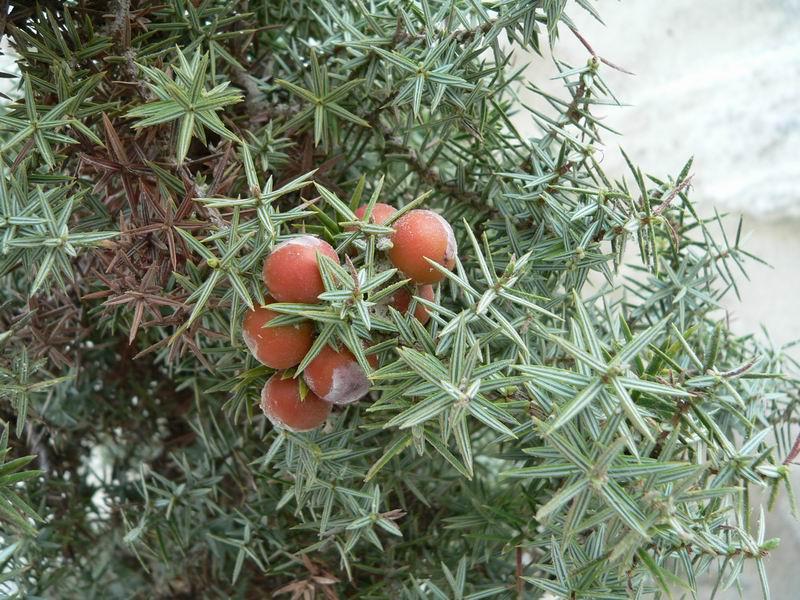 Botánica Aplicada. Terpenos y Plantas Productoras 42719