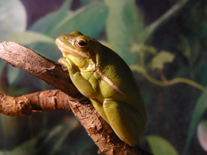 Hyla cinerea - American Green Tree Frog