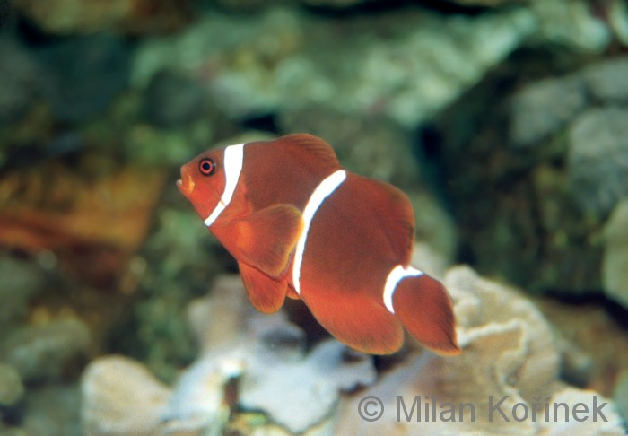 Premnas biaculeatus - Gold Stripe Clown