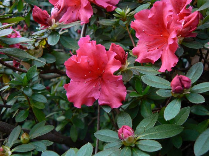 image rhododendron simsii indian azalea. Black Bedroom Furniture Sets. Home Design Ideas