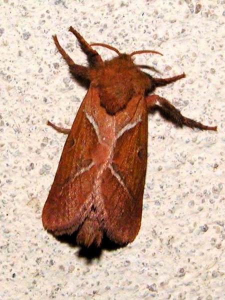Triodia sylvina - Orange Swift