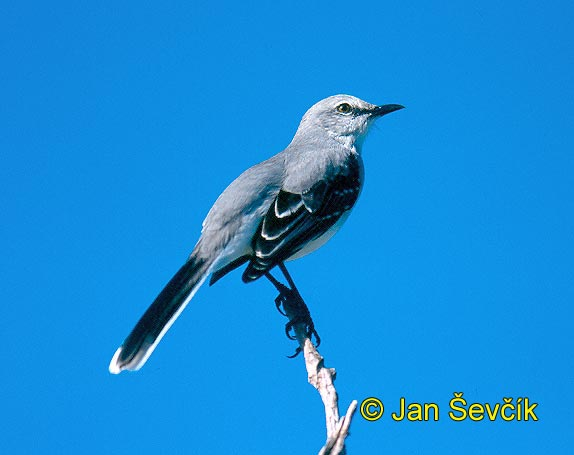 Mimus polyglottos - Northern Mockingbird