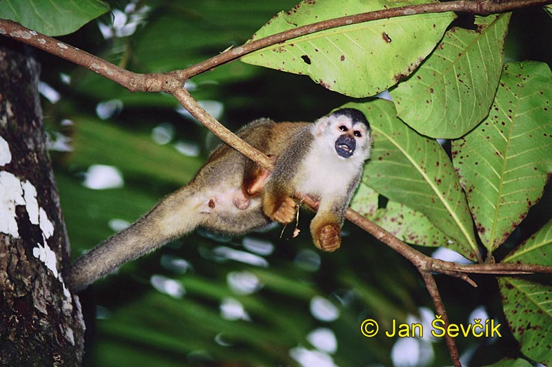 Saimiri oerstedii - Central American Squirrel Monkey