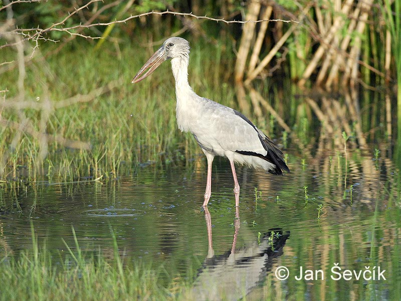 Anastomus oscitans - Asian Openbill