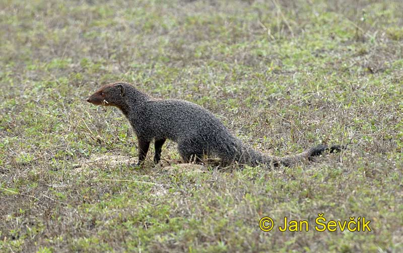 Herpestes edwardsi - Indian Gray Mongoose