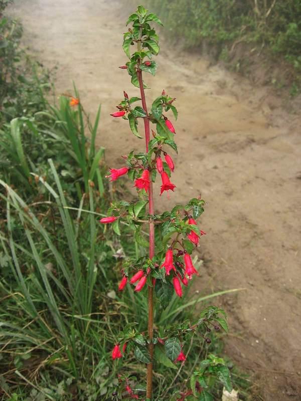 Fuchsia image