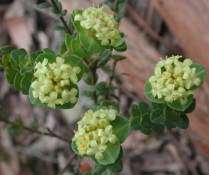 Pimelea flava - Yellow Riceflower