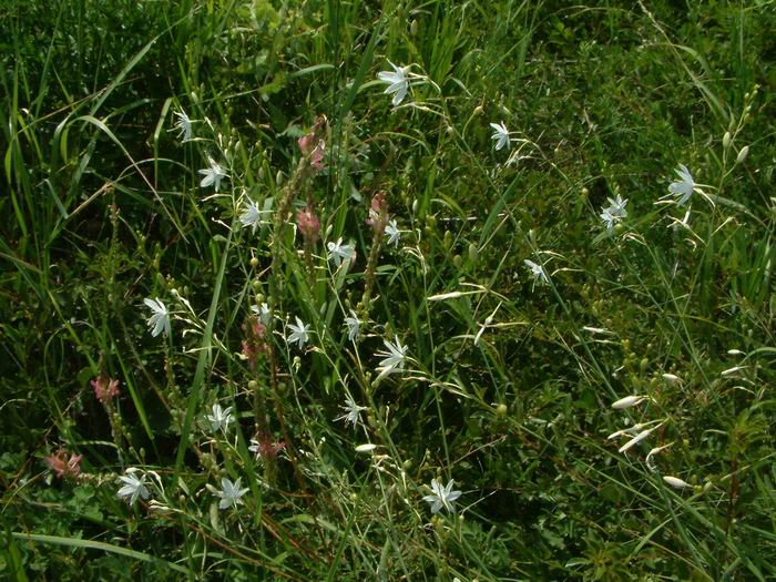 Anthericum ramosum - Branched St Bernard's-lily