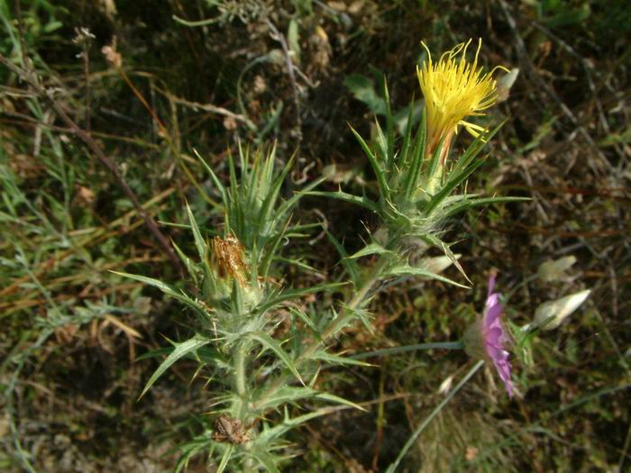 Carthamus lanatus - Downy Safflower