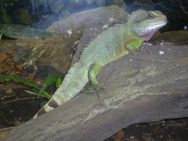 Physignathus cocincinus - Chinese Water Dragon