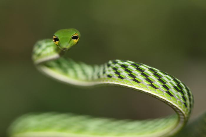 Ahaetulla nasuta - Long-nosed Tree Snake