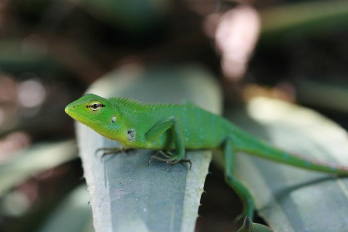 Calotes calotes - Common Green Forest Lizard