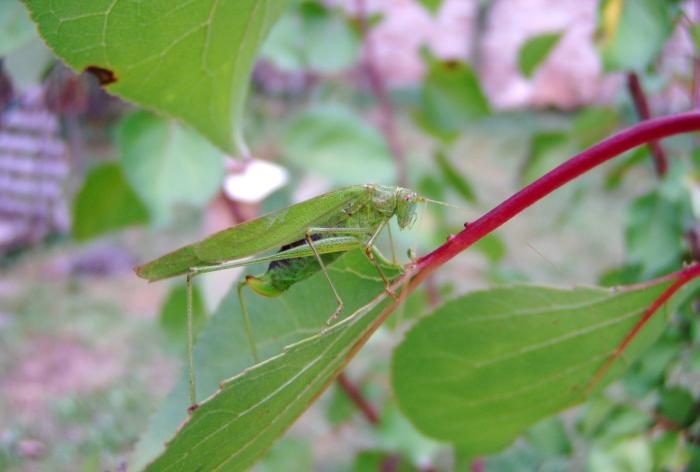 Phaneroptera falcata - Sickle-bearing Bush-cricket