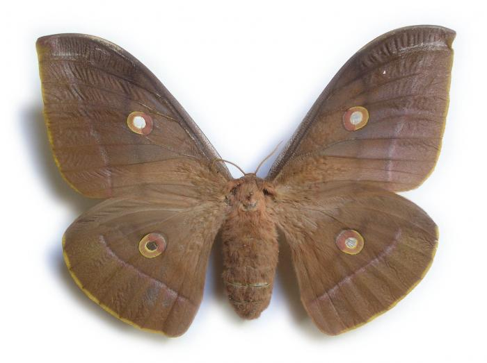 Antheraea pernyi - Chinese Oak Silkmoth