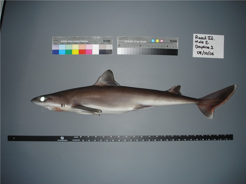 Squalus raoulensis - Kermadec Spiny Dogfish