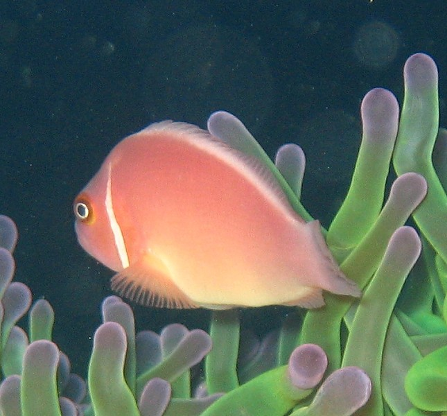 Amphiprion perideraion - False Skunk Striped Clown