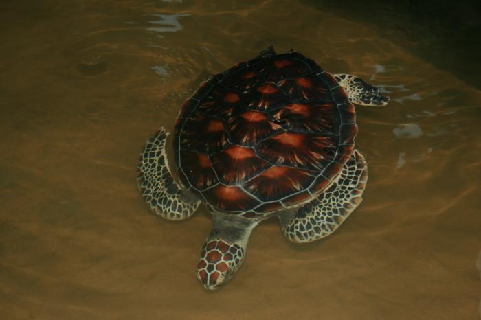 Chelonia mydas japonica - Green Turtle