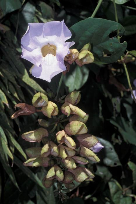 Image of Thunbergia laurifolia