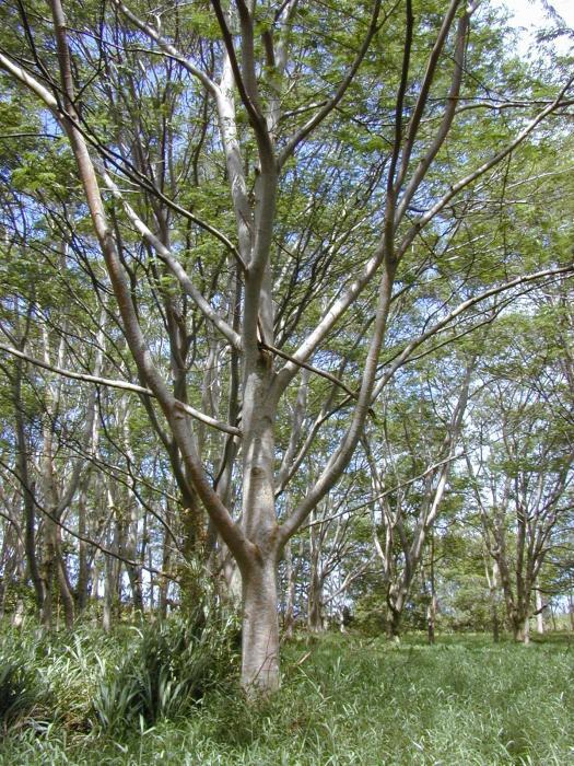 Albizia image