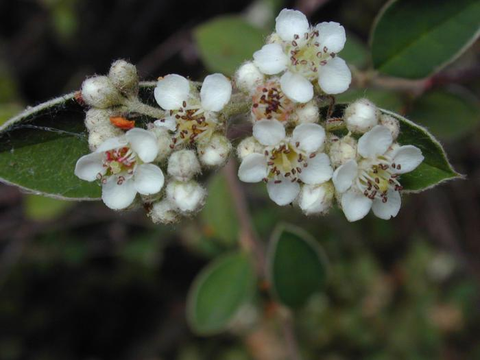 Cotoneaster pannosus - Silverleaf Cotoneaster