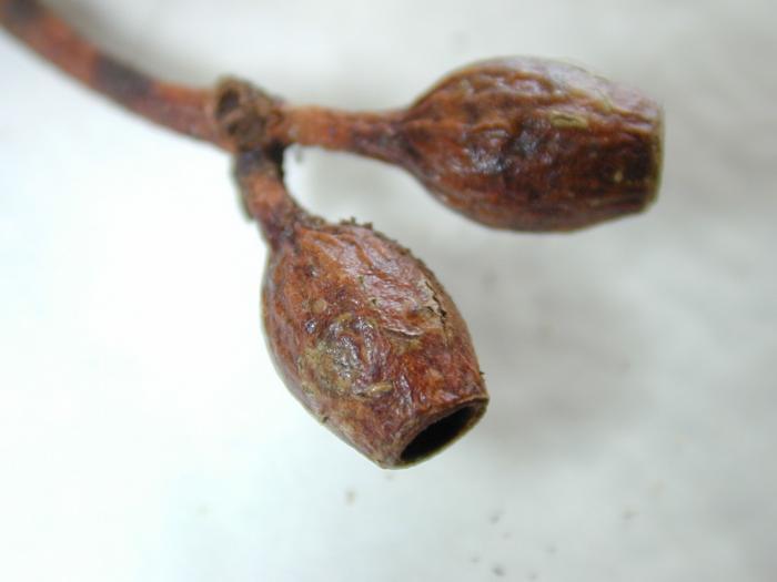 Eucalyptus cladocalyx image