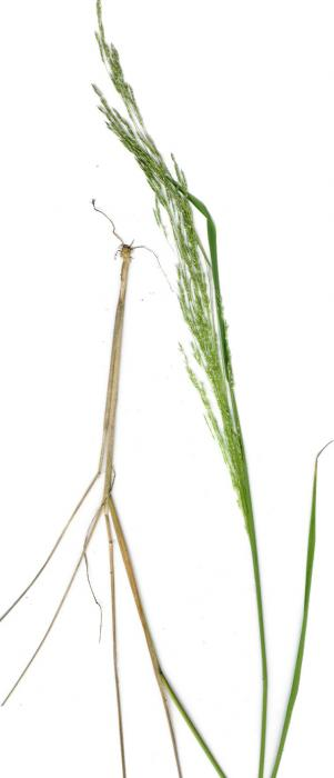 Agrostis avenacea - Blown-grass