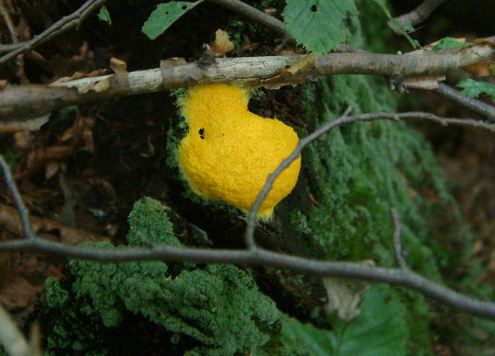 Fuligo septica - Dog Vomit Slime Mould