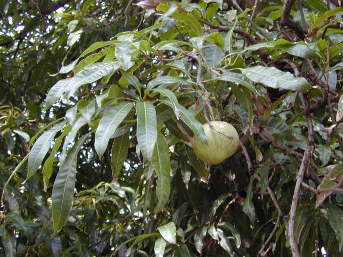 mangifera indica l