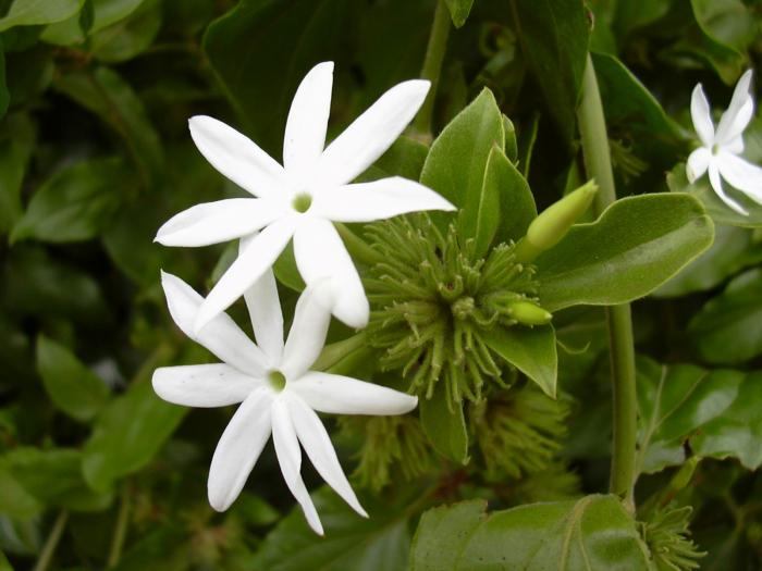 Jasminum multiflorum - Angel Hair Jasmine