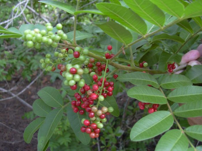 Schinus terebinthifolius - Brazilian Peppertree