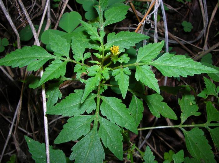 Bidens cynapiifolia image