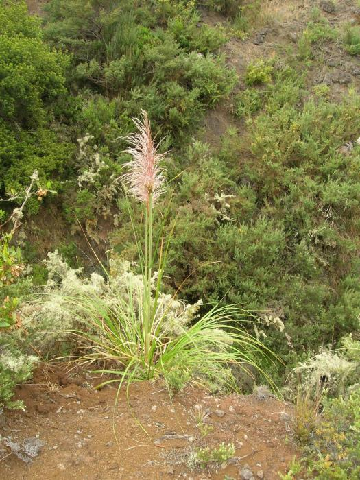 Cortaderia jubata - Purple Pampas Grass