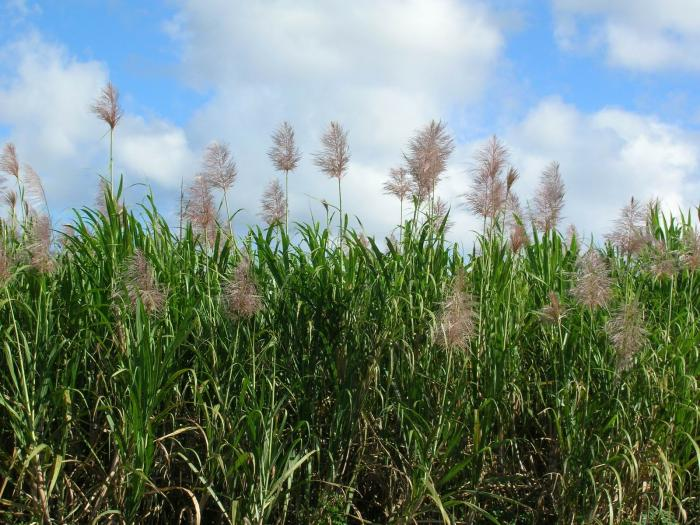 Saccharum officinarum - Sugar Cane