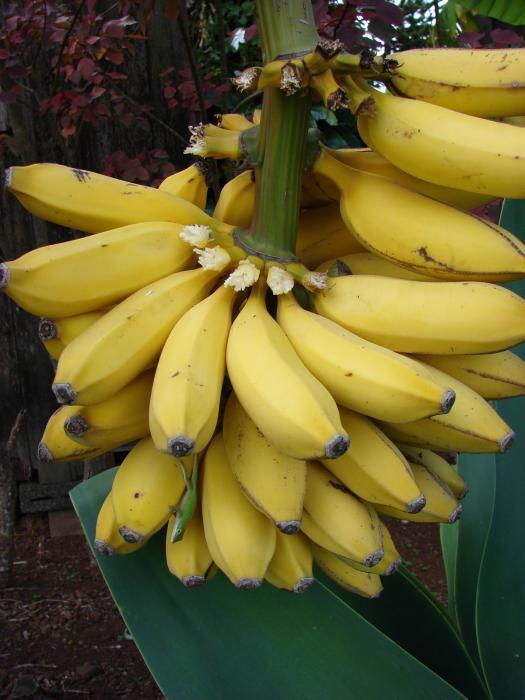 Image - Musa acuminata (Banana) | BioLib.cz