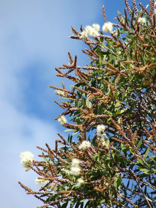 Melaleuca quinquenervia - Bottle Brush Tree