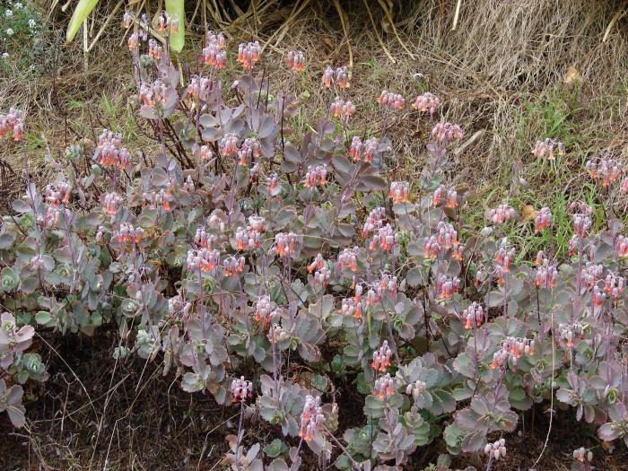 Bryophyllum image