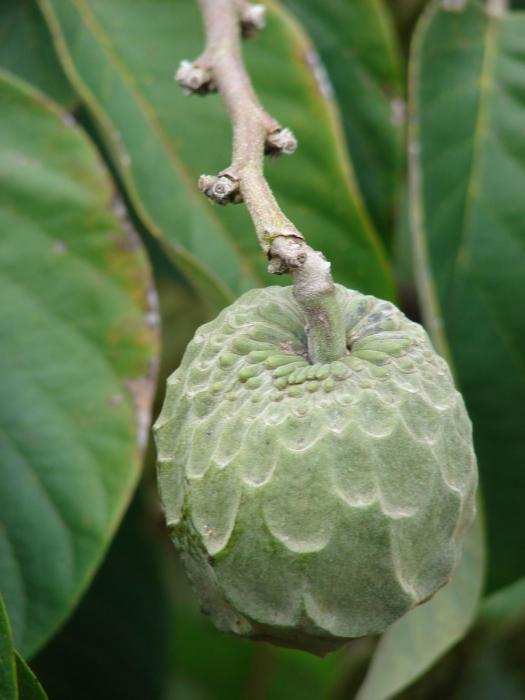 Annonaceae image