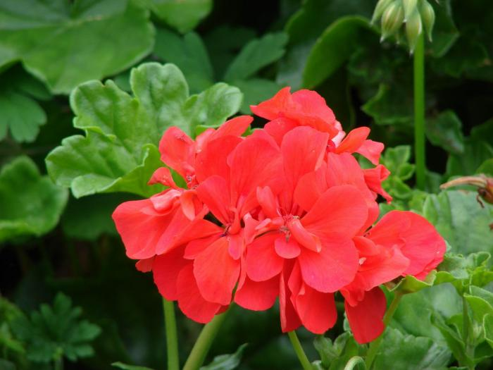 Pelargonium Hortorum Common Geranium Pelargonium