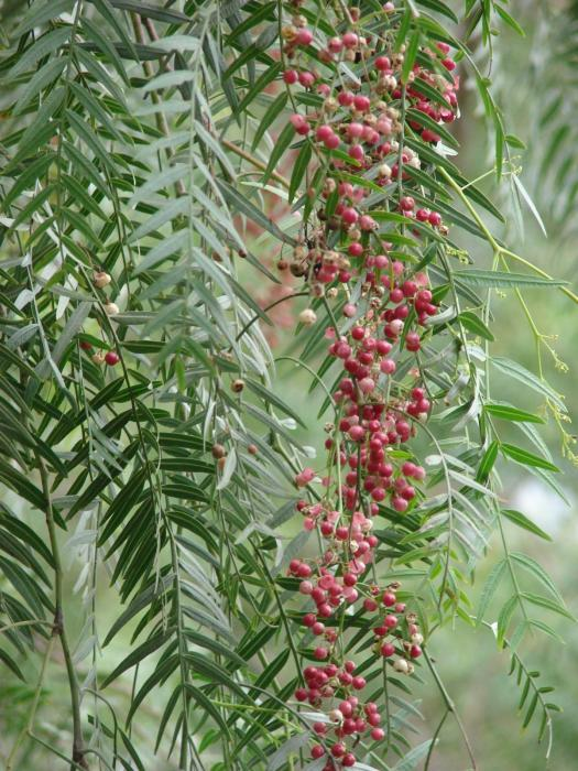 Schinus molle - California Pepper Tree