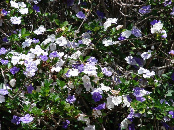 Brunfelsia australis - Yesterday-today-tomorrow