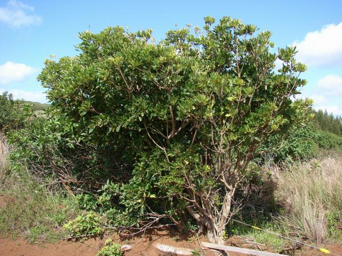 Pittosporum viridiflorum - Cape Cheesewood