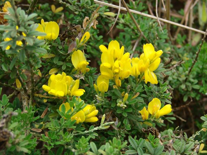 Genista monspessulana - Montpellier Broom