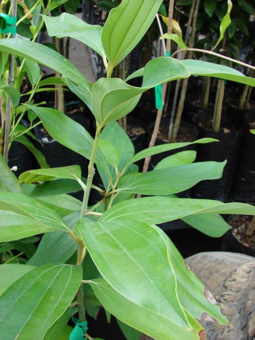 Cinnamomum image