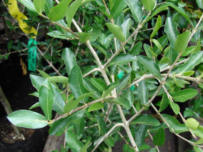 Malpighiaceae image