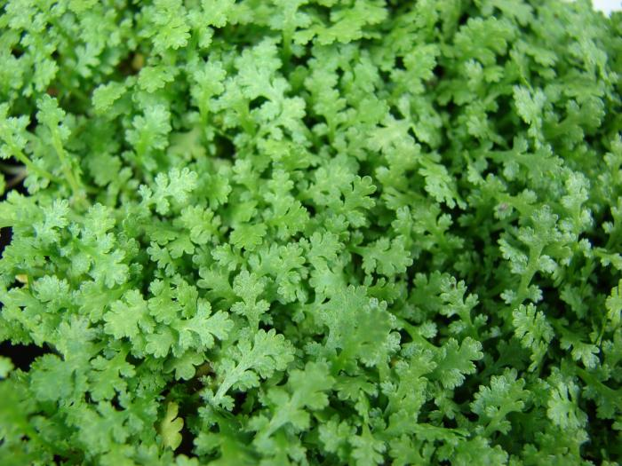 Leptinella фол 'Gruveri'