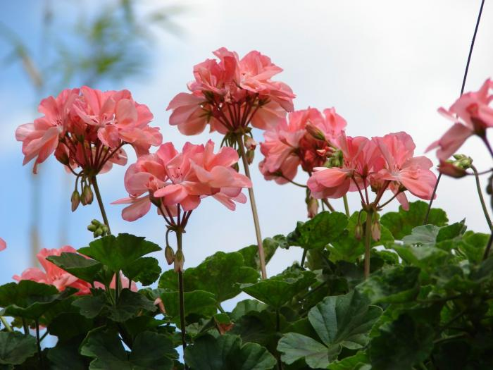 Geraniaceae image
